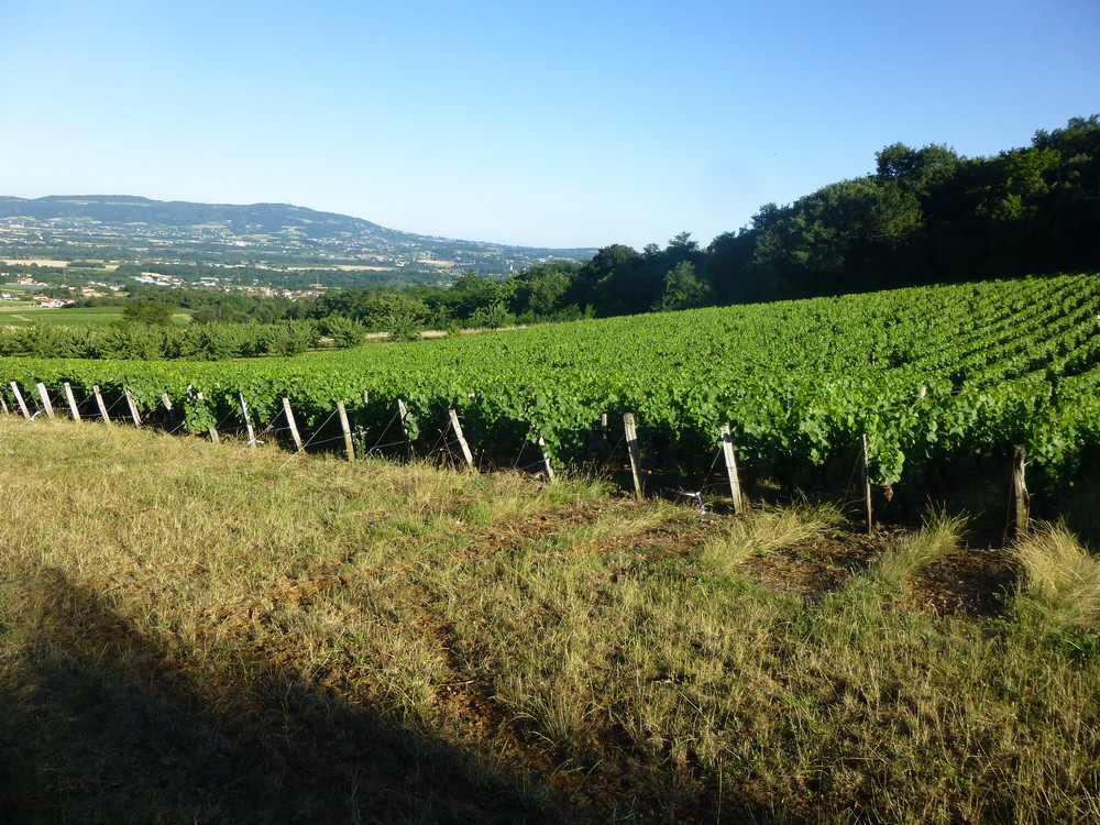 vignes Beaujolais - Domaine de Champ Fleury