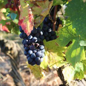 raisin rouge - Domaine de Champ Fleury