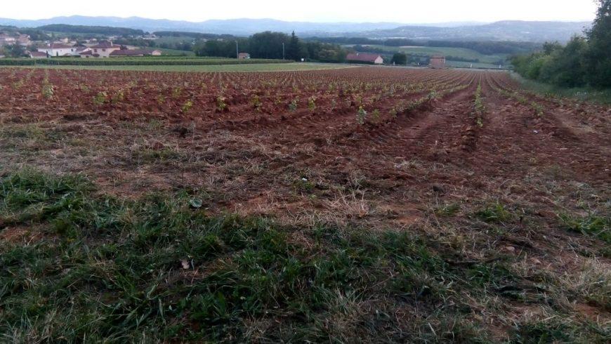 plantation de Chardonnay pour Crémant de Bourgogne vers Villefranche sur Saône